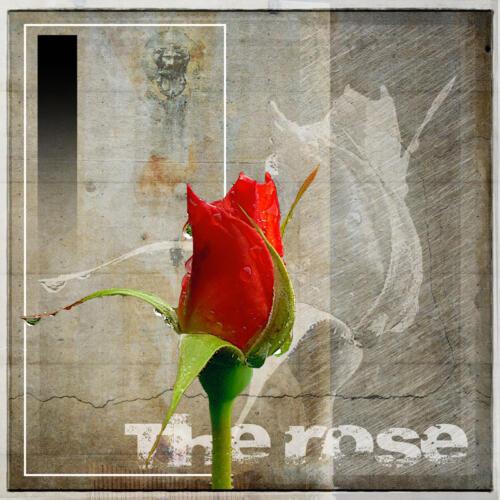 social the rose